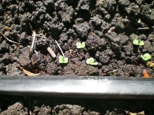 Tiny mustard green sprouts