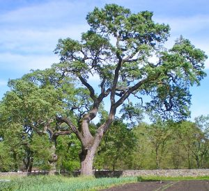 Giant oak tree in our field