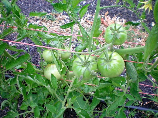 Waiting for Japanese Black Trifele tomatoes to ripen
