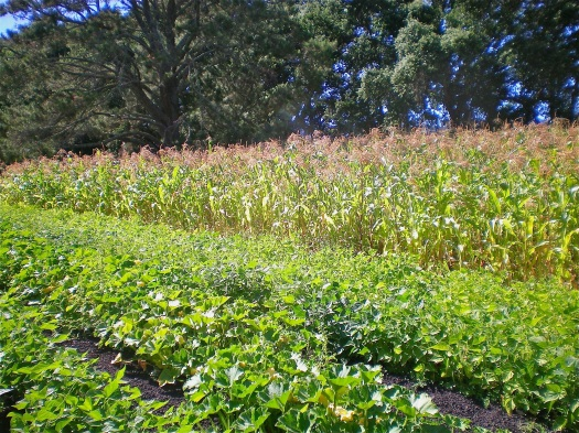 From left to right winter squash, beans, and popcorn (with pumpkins hiding in the rows)