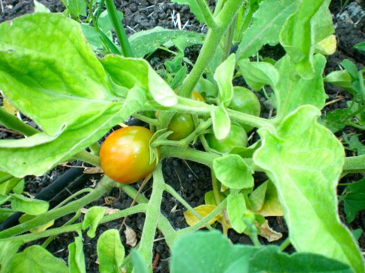 The first tomato of the season to ripen