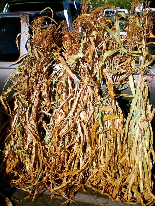 Bunched up cornstalks ready to decorate front doors everywhere