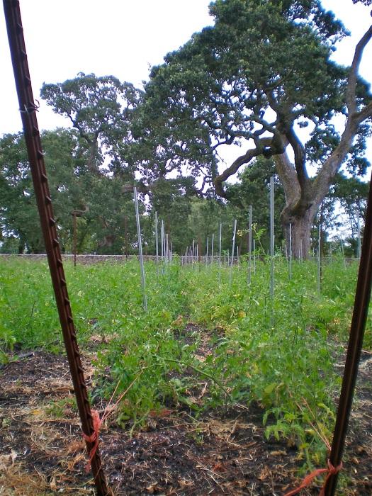 The tomato rows