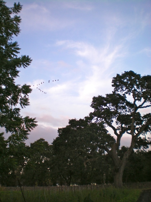 Geese migration, a sign of the changing seasons