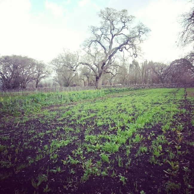 Winter cover crop slowing growing from minimum rain