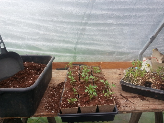 Tomato seedlings ready for adoption