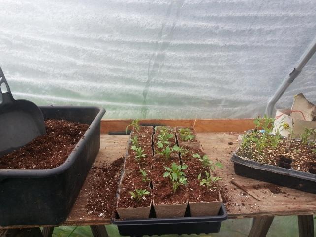 Tomato seedlings ready for adoption