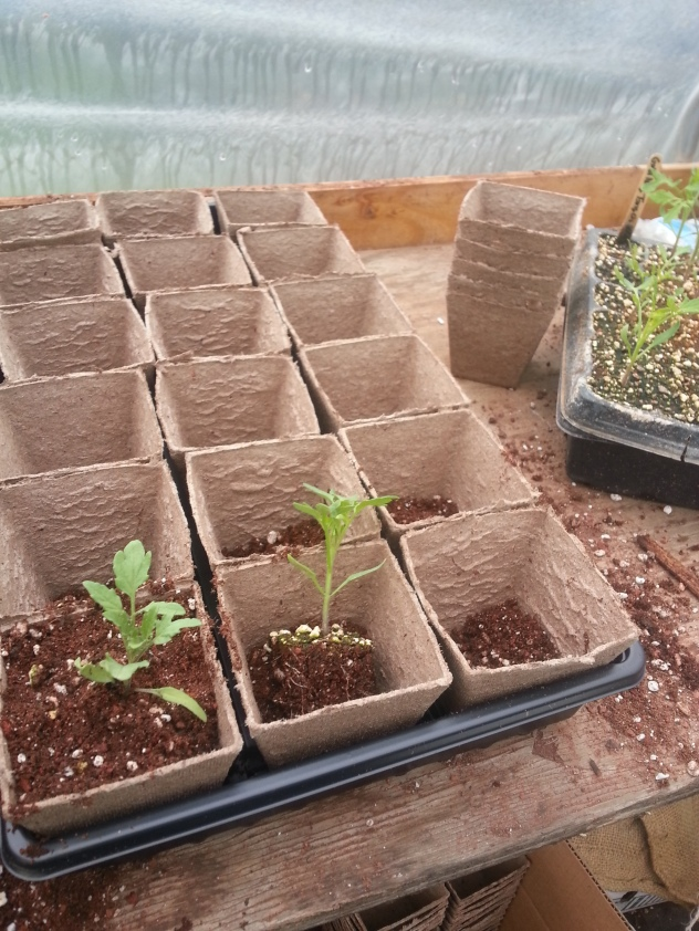 Tomato seedlings getting a bit more space