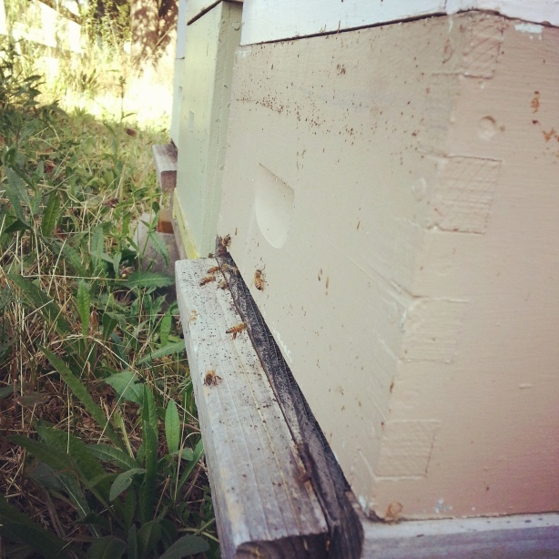 Resident honeybee hives