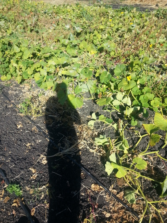 Reflecting on this year's winter squash crop