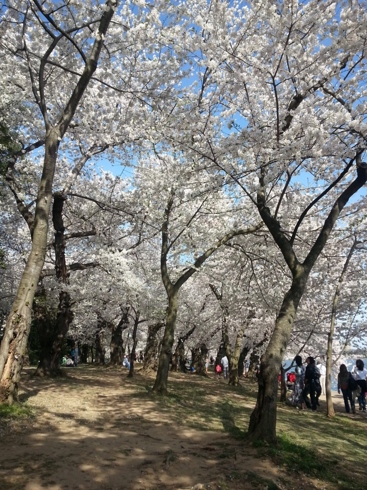 And there were lots and lots of cherry blossoms
