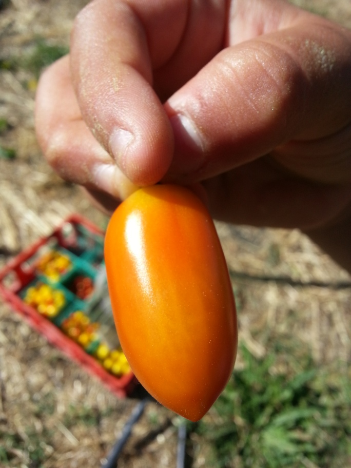 My nephew showing off the  cool colors of a cherry tomato