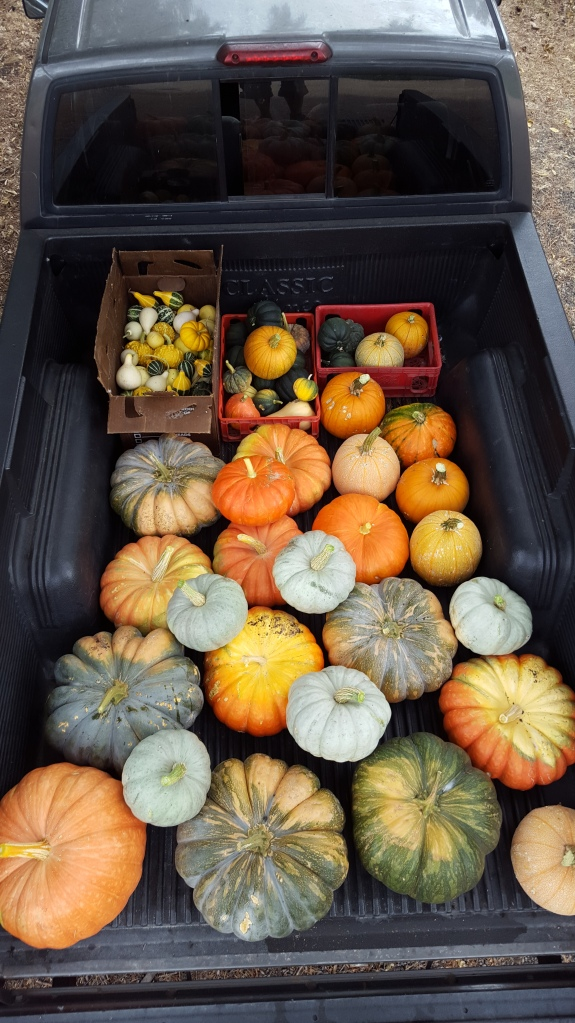 On the bottom row the third pumpkin in weights 35 pounds!