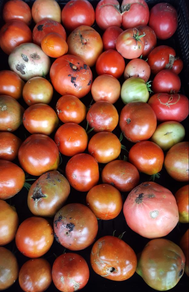 Late heirloom tomatoes
