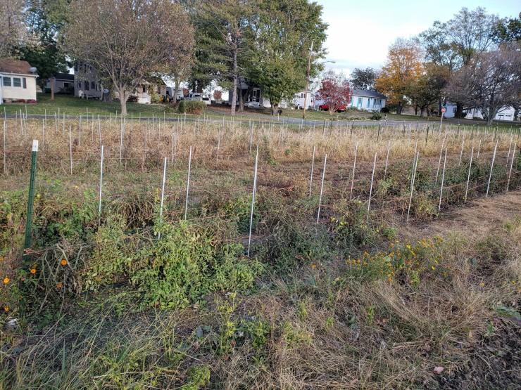 november tomato field