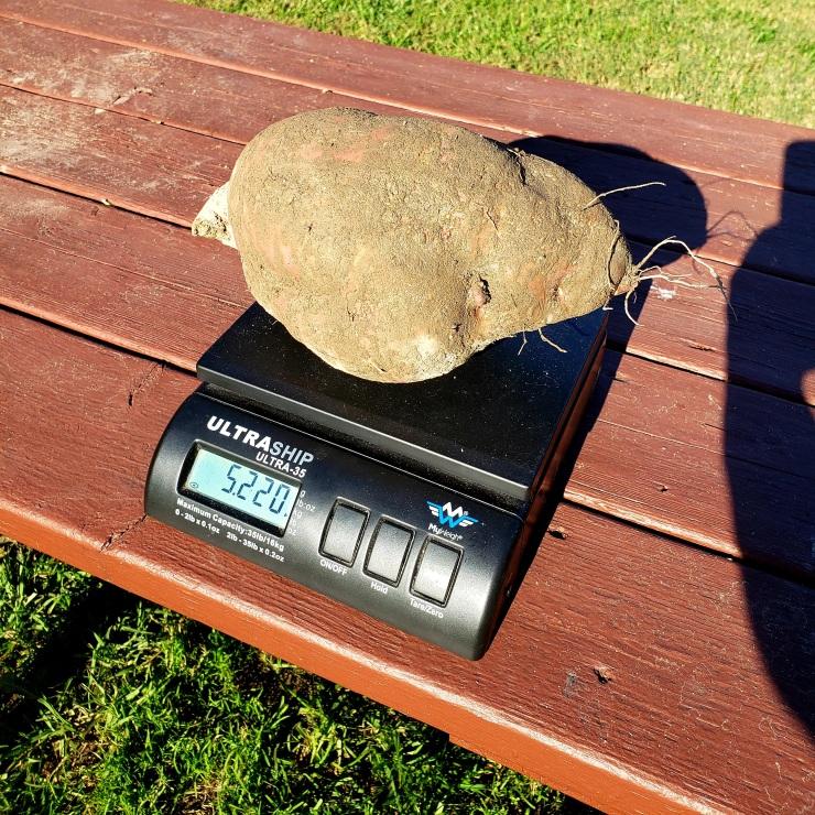 giant sweet potato