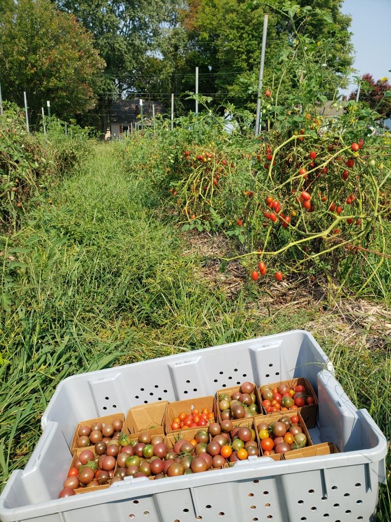 cherry tomato harvest